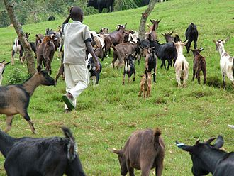 Agriculture in the Democratic Republic of the Congo - Animal husbandry in Congo