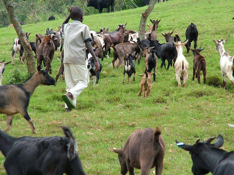 File:Animal husbandry in Congo.jpg