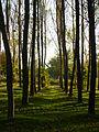Ankara ağaçlar.JPG