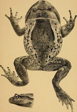 Annali del Museo civico di storia naturale di Genova (1893) (18412624161).jpg