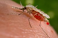 An Anopheles stephensi :en:mosquito is obtaini...