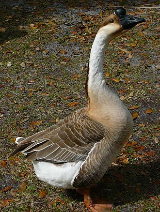 Domestic goose - Farm goose: erect posture and fat rear end