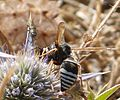 Anthaxia sp. Buprestidae - Flickr - gailhampshire.jpg