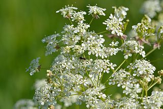 <i>Anthriscus sylvestris</i> species of plant