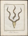 Antilope kudu - hoorns - 1700-1880 - Print - Iconographia Zoologica - Special Collections University of Amsterdam - UBA01 IZ21400155.tif