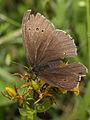 Aphantopus hyperantus, male (6973309324).jpg