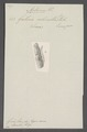 Aphomia - Print - Iconographia Zoologica - Special Collections University of Amsterdam - UBAINV0274 058 05 0004.tif