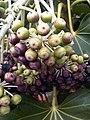 Apiales - Fatsia japonica 2.jpg