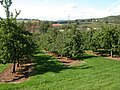 Apple orchards near Colebrook Wood - geograph.org.uk - 249188.jpg