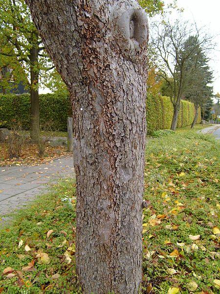 File:Apple tree trunk.jpg