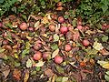 Apples in autumn 01 ies.jpg