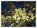 April Magnolia grandiflora Freiburg Botanischer Garten - Master Botany Photography 2013 - panoramio (4).jpg
