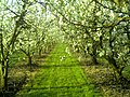 April Season Apple Blossom - Master Landscape Rhine Valley 2013 - panoramio (4).jpg
