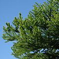 Araucaria cunninghamii foliage.jpg