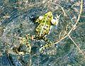 Arboretum Kornik, Ranidae, 13.5.2006r.jpg