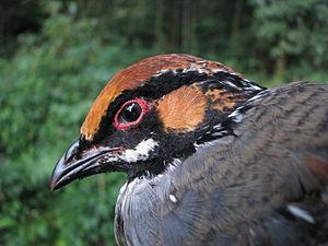 Hill partridge - A male from Arunachal Pradesh, India