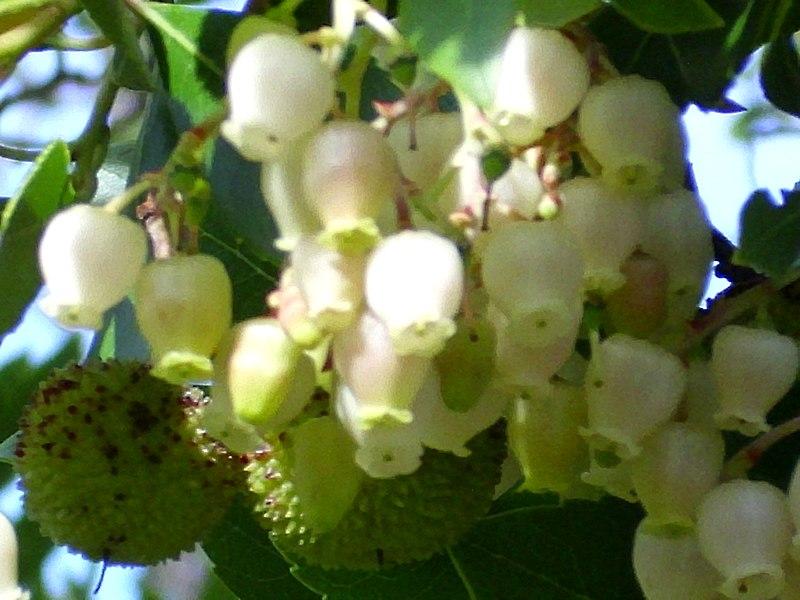 File:Arbutus unedo FlowersCloseup 2009November1 SierraMadrona.jpg