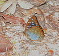 Archduke female (Lexias sp.) (22352785702).jpg