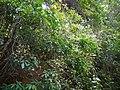 Archidendron bigeminum (L.) I.C.Nielsen (32397345654).jpg