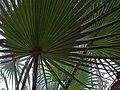Arecaceae in iran نخل ها در ایران 01.jpg
