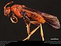 Argid sawfly (Argidae, Arge spiculata (MacGillivray)) (36760208055).jpg