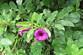 Argyreia cuneata - Purple Morning Glory - at Beechanahalli 2014 (1).jpg