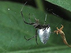 https://upload.wikimedia.org/wikipedia/commons/thumb/7/7e/Argyrodes.bonadea.female.-.tanikawa.jpg/250px-Argyrodes.bonadea.female.-.tanikawa.jpg