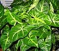Arrowhead plant 002.jpg