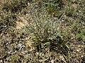 Artemisia herba-alba 1.jpg