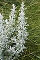 Artemisia maritima baie-authie 80 15072007 1.jpg