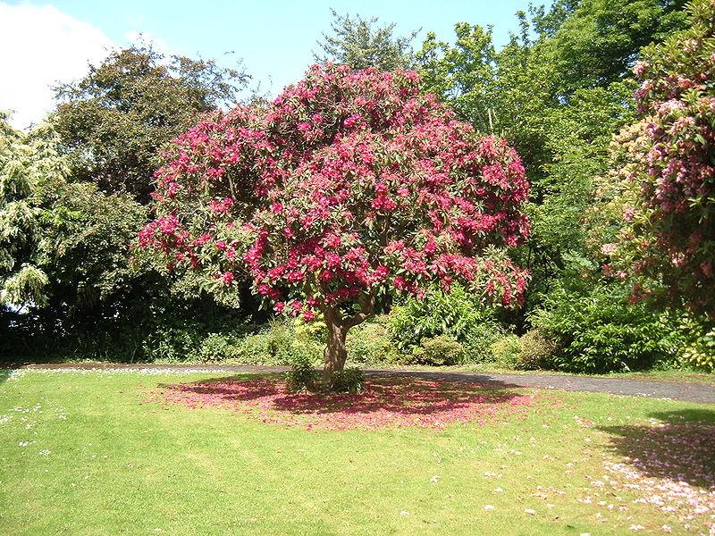 File arvore jpg wikimedia commons - Rododendro arbol ...