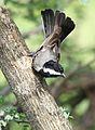 Ashy tit, Parus cinerascens, at Elephant Sands Lodge, Botswana. (32232313125).jpg