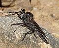Asilidae Robber Fly (33081513571).jpg
