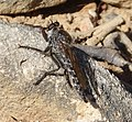 Asilidae Robber Fly (33209172825).jpg