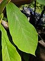 Asimina parviflora leave.jpg