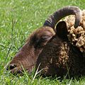 Asleep sheep (520175006).jpg
