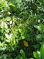 Asparagus aethiopicus 'Sprengeri' L. (AM AK297421-2).jpg