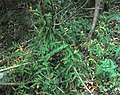 Asparagus scandens indigenous afrotemperate forest floor South Africa.jpg