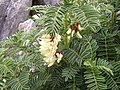 Astrágalo en flor (3411691105).jpg