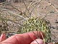 Astragalus ceramicus (3939404897).jpg