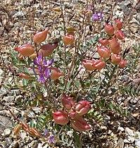 Astragalus lentiginosus 2.jpg