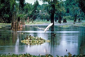English: A scene in the Atchafalaya Basin in L...