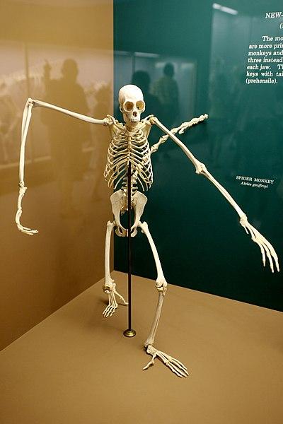 File:Ateles Geoffroyi Skeleton.jpg
