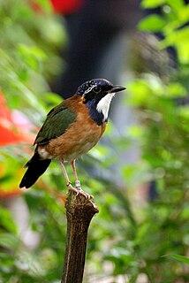 Pitta-like ground roller species of bird