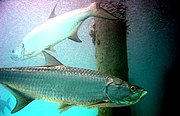Atlantic tarpon