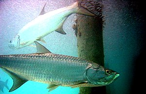 Atlantic tarpon (Megalops atlanticus)