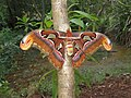 Attacus atlas - Atlas moth at Peravoor 2017 (30).jpg