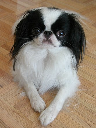 Japanese Chin - Japanese Chin were the dogs of Japanese royalty.