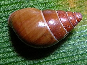 Auriculella sp., Makawao Forest Reserve, Maui, Hawaii