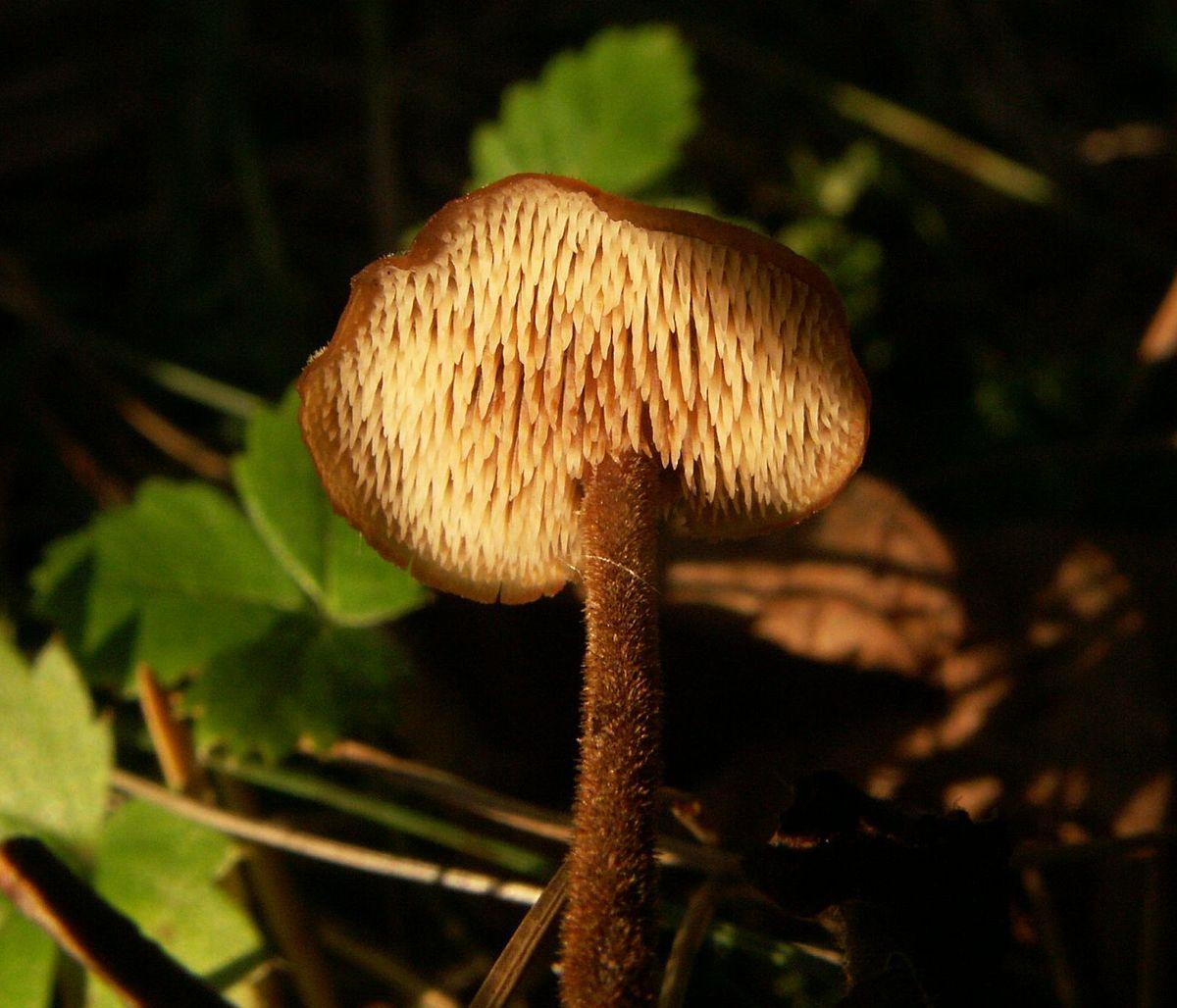 Auriscalpium - Wikiped...